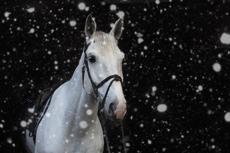 valokuvaus lemmikkikuvaus hevoskuvaus